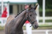 Hest til salg - FARMAND'S AURÉOLE