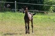 Hest til salg - DUBAI