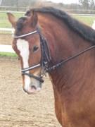 Hest til salg - Lukas