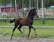 Hest til salg - SOROS APARI