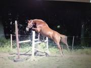 Hest til salg - DIOR