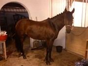 Hest til salg - Elmholts Chanell