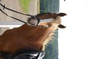 Hest til salg - Carisma