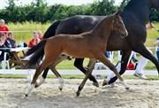 Hest til salg - 412 - VINCI NUMBER ONE