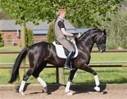 Hest til salg - Sirocco
