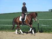 Hest til salg - AL CAPONE DM