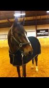 Hest til salg - LANGLEY