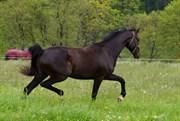 Hest til salg - Lipas Tirana