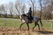 Hest til salg - CASTINE