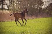 Hest til salg - Lincoln