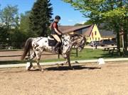 Hest til salg - JASON AF ELMELYGÅRD