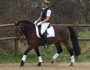 Hest til salg - LERTEVANGS CHILLI