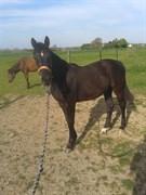 Hest til salg - ELECTRA