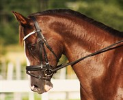 Hest til salg - Modderbeek´s Noblesse