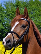 Hest til salg - LYKKEHØJS CHAGALLE