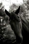 Hest til salg - Scarlett O' Hara