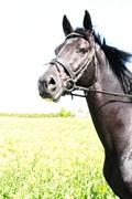 Hest til salg - RADUC