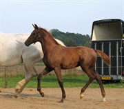 Hest til salg - ZIRIUS OVERSKOVLUND
