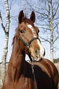 Hest til salg - Day Dream