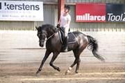 Hest til salg - Black Diamond