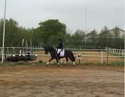 Hest til salg - ROSHØJ'S FALCON