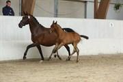 Hest til salg - BAKKEGAARDS ZAZU