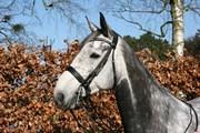 Hest til salg - WALTINO