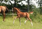 Hest til salg - CAYENNE