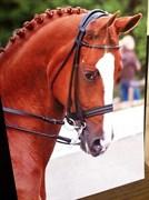 Hest til salg - Kildebo's Caquet