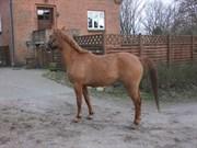 Hest til salg - NØRLUNDS DENVER