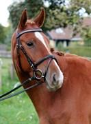 Hest til salg - GEDEVASEGAARDS ZHASCHA