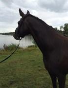 Hest til salg - HEDEGAARDENS MAGIC TOUCH