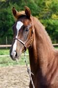 Hest til salg - NORDSTRAND´S OBELIX