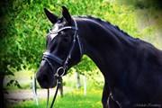 Hest til salg - Alfa Royal Dancer
