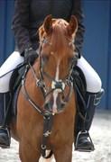 Hest til salg - PONYLANDS ANOTHER HERO