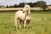 Hest til salg - Scheel´s Golddigger
