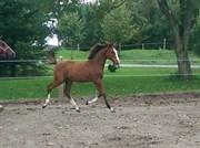 Hest til salg - NORDAL'S CATCH ME
