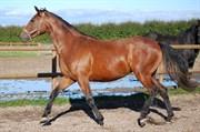 Hest til salg - NØDDEBOGÅRDS AL BERTE (ALBERTE)