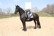 Hest til salg - Janneke Ellemose