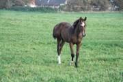 Hest til salg - ZAFIRA