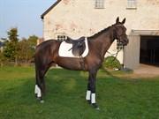 Hest til salg - Zackeline Liberty
