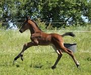Hest til salg - Domino Overskovlund