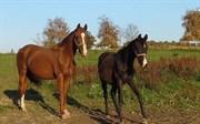 Hest til salg - ARAS ROYAL FLUSH