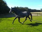 Hest til salg - Pasadena