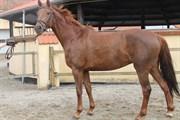 Hest til salg - HYGGEBO'S MALU