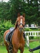 Hest til salg - VEJENS CHAPLIN