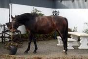 Hest til salg - RIANNA