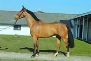 Hest til salg - Carlson