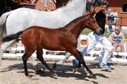 Hest til salg - SØLBECKS COR MON COEUR
