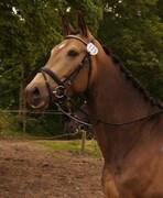 Hest til salg - SKOVGAARDENS REGINA
